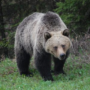 grizzly-bear-659198_1920